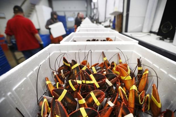 Năm 2020: Những tín hiệu vui trên thị trường xuất khẩu tôm hùm Mỹ