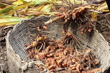 Nông dân trụ vững vùng biên viễn nhờ củ gừng, củ nghệ hữu cơ