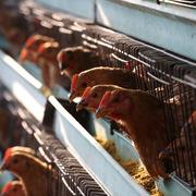 Trung Quốc nguy cơ mất hàng trăm triệu con gà vì virus corona