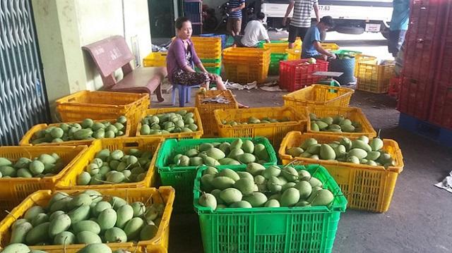 Giá ớt, xoài, khoai lang cũng rớt thảm do Trung Quốc ngừng thu mua