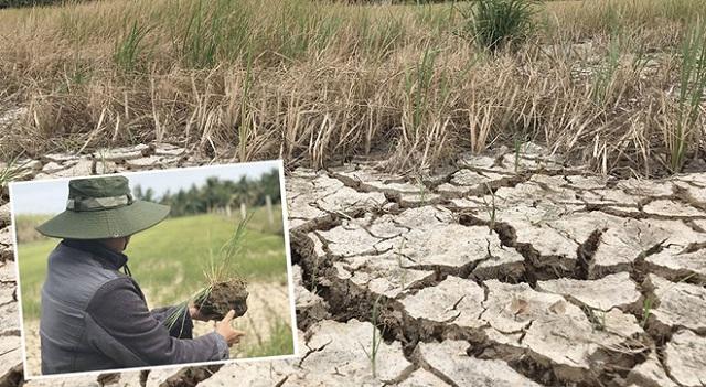 Đất trồng lúa tại các huyện Ba Tri, Giồng Trôm, Thạnh Phú (Bến Tre) đã nứt nẻ hơn nửa tháng qua