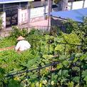 <p> Vườn rau mướt mắt với đủ loại cây trồng, khác biệt hẳn so với những mái nhà bên cạnh.</p>