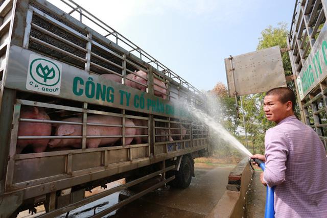 Giá heo hơi xuất chuồng ngày 13-2 của doanh nghiệp chăn nuôi C.P Việt Nam ở mức 79.500 đồng/kg