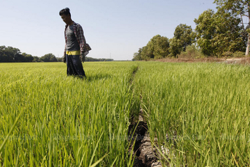 Tại sao Thái Lan có nguy cơ mất vị trí xuất khẩu gạo vào tay Việt Nam?