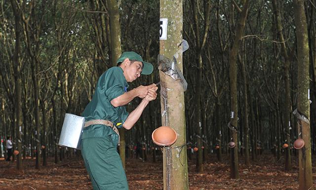 Tập đoàn Cao Su muốn chuyển đổi mục đích sử dụng hơn 18.000 ha đất cao su