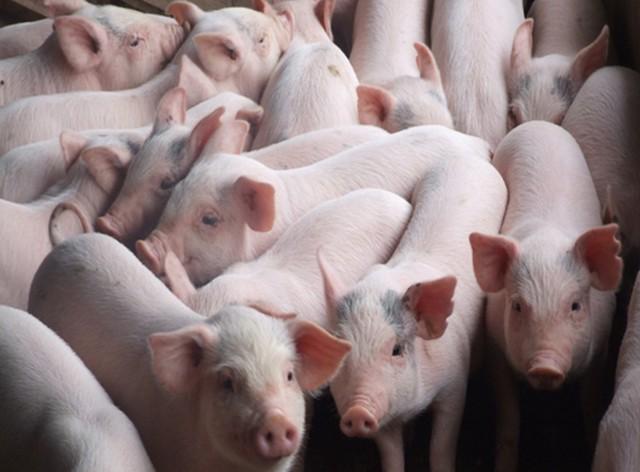 Sản lượng thịt lợn Việt Nam năm nay ước giảm 7%