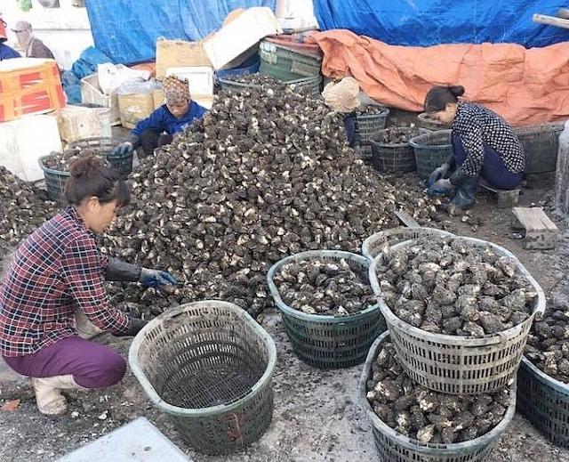 Quảng Ninh vẫn còn 4.500 tấn hàu Thái Bình Dương và 3.000 tấn hàu cửa sông đang gặp khó khăn trong tiêu thụ..