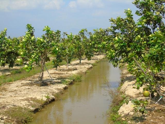 Đào rãnh trữ nước cứu các vườn cây ăn trái.
