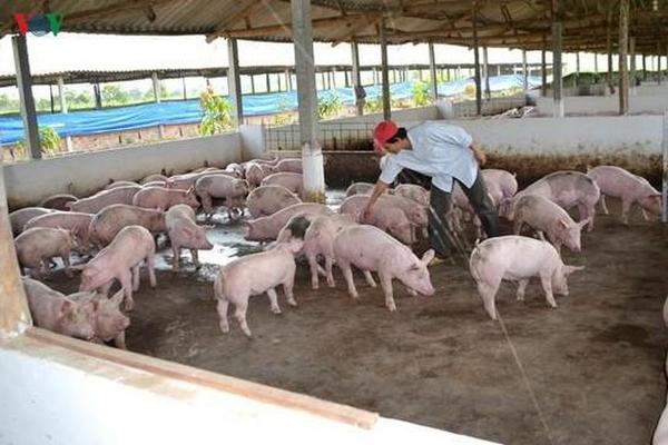 Hết quý III, giá thịt lợn mới có thể giảm xuống 60.000 đồng/kg lợn hơi