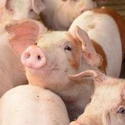 15 doanh nghiệp chăn nuôi cam kết giảm giá lợn về 70.000 đồng/kg từ 1/4