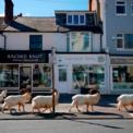 <p> Đàn dê núi đi lang thang trên những con phố yên tĩnh ở Llandudno, Wales vào ngày 31/3. Một người dân địa phương cho biết gần đây động vật hoang dã xuất hiện thường xuyên hơn ở thị trấn này do người dân bị hạn chế đi lại và hoạt động kinh doanh bị đóng cửa để ngăn dịch Covid-19 lây lan. Ảnh: <em>Getty Images.</em></p>