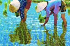 Việt Nam đang sản xuất, tiêu thụ và xuất khẩu gạo như thế nào?