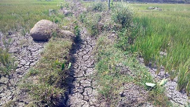 Nhiều khu vực của Gia Lai hạn nặng, lúa cháy khô.