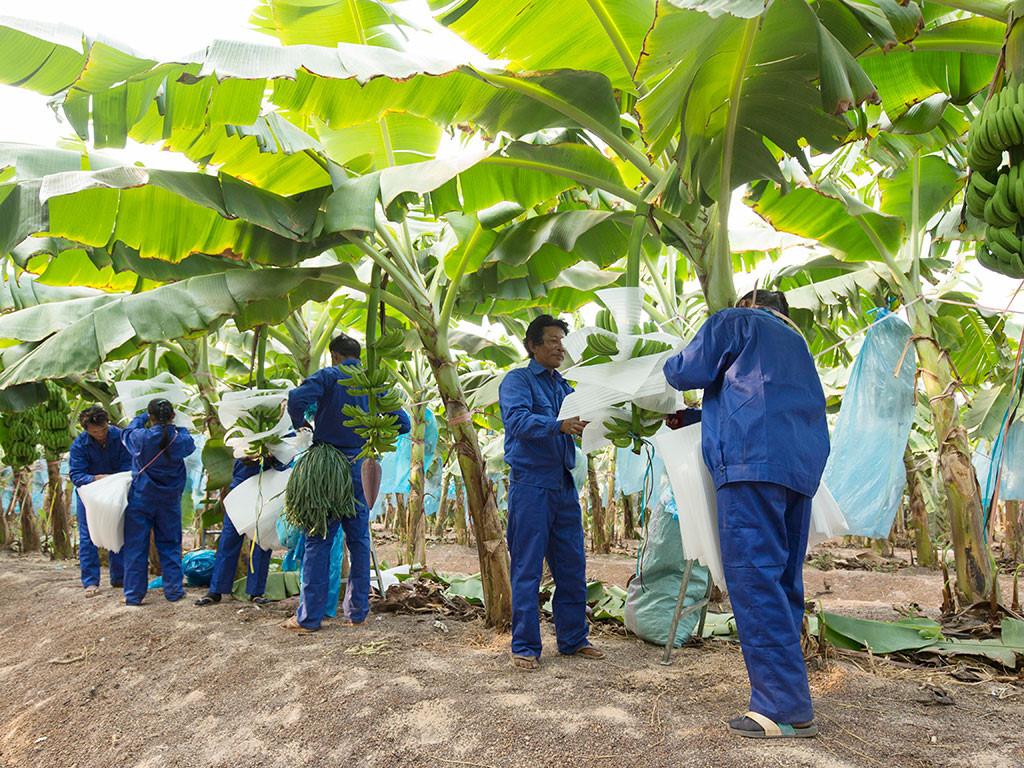 Tập trung vào cây ăn trái và giảm nợ vay, HAGL Agrico đặt kế hoạch lợi nhuận 566 tỷ đồng năm 2020