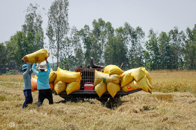 Nông dân thị xã Ngã Năm (Sóc Trăng) thu hoạch lúa vụ Đông Xuân ngày 10/3/2020. Ảnh: Nguyệt Nhi.