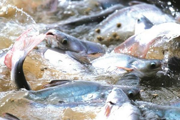 Mỹ giảm 89% thuế chống bán phá giá cá tra, basa Việt Nam trong đợt POR 15