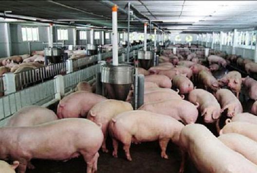 Thêm một công ty chăn nuôi lợn lãi đột biến, cổ phiếu tăng gần 250%
