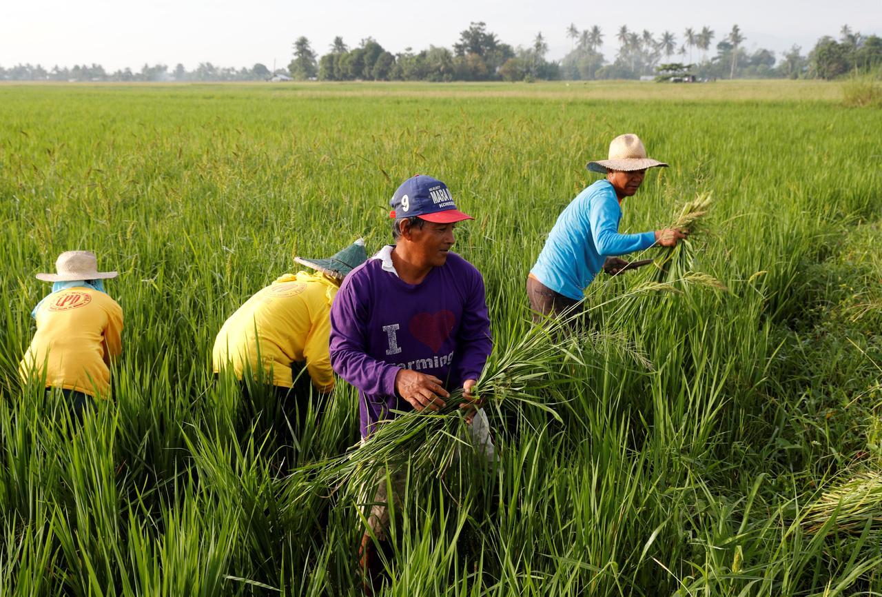 Giá gạo Ấn Độ, Thái Lan, Bangladesh lên cao nhất trong nhiều tháng