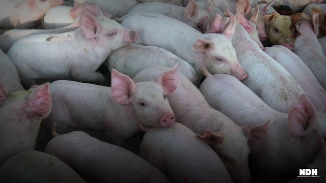 Đồng Nai sắp phục hồi đàn lợn