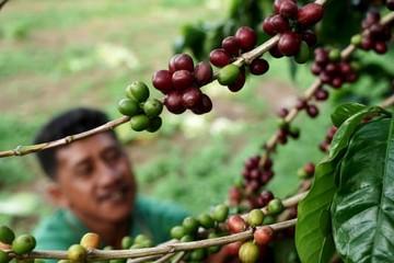 Ngành cà phê hưởng lợi nhờ nhu cầu tích trữ trong mùa dịch Covid-19