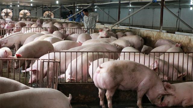 Người chăn nuôi khó tái đàn vì lợn giống giá cao