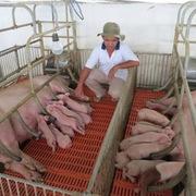 Giá lợn giống tăng kỷ lục