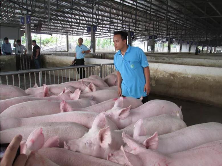 Thực hư thông tin Công ty C.P ngưng bán lợn hơi