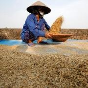 Nhu cầu đổ về, giá gạo Việt Nam, Ấn Độ tiếp tục tăng