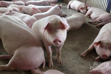 Việt Nam cần duy trì 2,5-3 triệu lợn nái để cân đối cung cầu