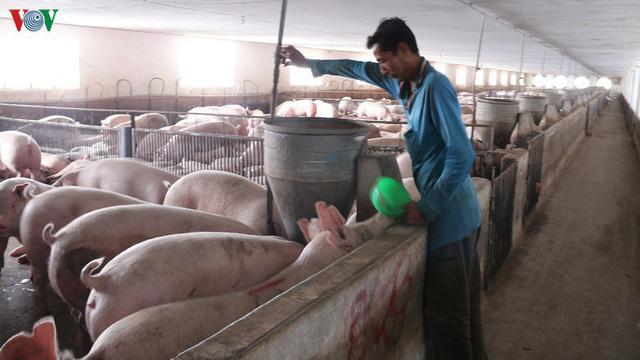 Cuối quý 3 sẽ đáp ứng đủ nguồn cung con giống phục vụ tái đàn lợn - Ảnh 1.