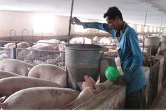 Cuối quý III sẽ đáp ứng đủ nguồn cung con giống phục vụ tái đàn lợn