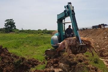 Dịch tả lợn châu Phi tái phát