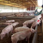 Chưa đủ điều kiện, không liều lĩnh tái đàn lợn