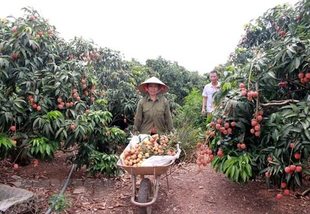 Gia đình chị Trần Thị Mỵ, thôn Phúc Lễ, xã Phúc Hòa thu hoạch vải sớm.