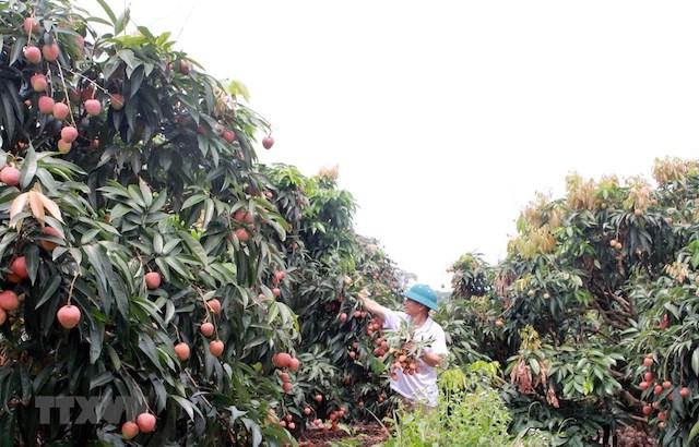 Anh Vy Thanh Bình, thôn Phúc Lễ, xã Phúc Hòa, thu hoạch vải sớm.