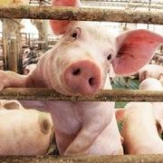 Trước khi lập đỉnh 105.000 đồng/kg, giá lợn có 5 tháng đầy biến động