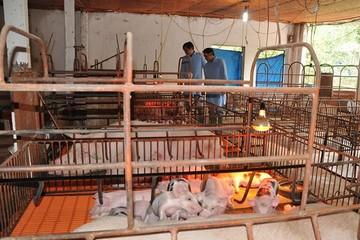 Nông dân không có phần trong lãi 'khủng' của doanh nghiệp kinh doanh lợn