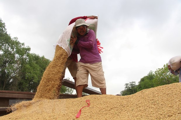 Vụ Hè-Thu sẽ có khoảng từ 2,3-2,5 triệu tấn gạo cho xuất khẩu