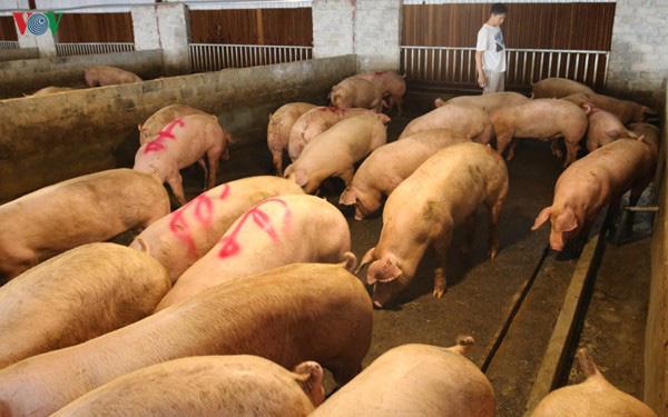 """Nuôi lợn """"lướt sóng"""" để chớp thời cơ giá lợn tăng cao - Ảnh 5."""