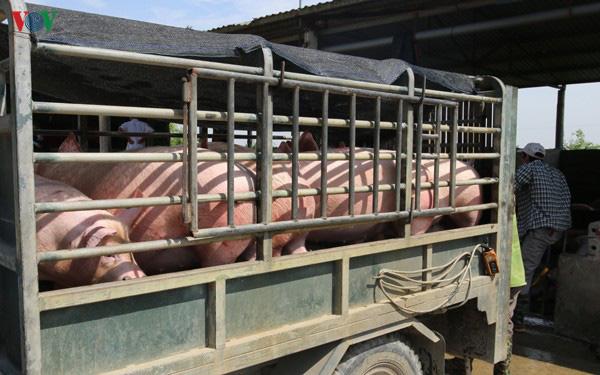 Nuôi lợn 'lướt sóng' để chớp thời cơ giá lợn tăng cao