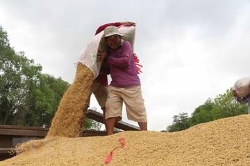 Giá gạo Việt Nam giao dịch ở mức thấp nhất trong 2 tháng