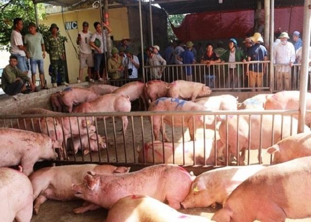 Gần 500 con lợn sống nhập từ Thái Lan đã được thương lái thu mua