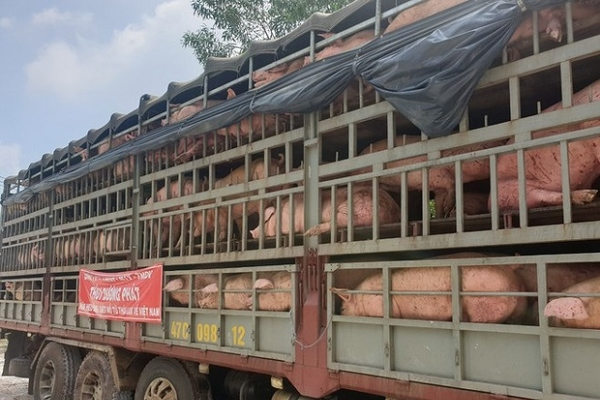 Lô 500 con lợn thịt nhập từ Thái đã về đến Đồng Nai