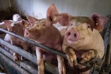 Trung Quốc phát hiện chủng cúm lợn mới có thể gây đại dịch