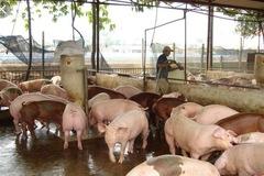 Dịch tả lợn châu Phi tái phát, cả nước tiêu hủy 34.000 lợn bệnh