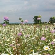 'Cao tốc hoa dại' giúp bảo vệ loài thụ phấn tại Anh