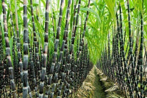 Triển khai giải pháp phát triển ngành mía đường trong tình hình mới