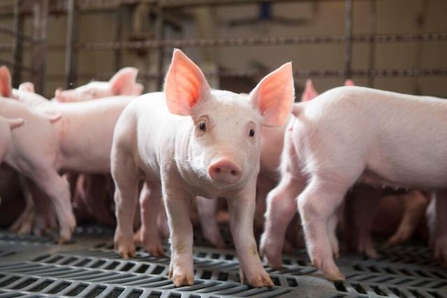 12 quận nội thành ở Hà Nội sẽ không được nuôi lợn, gà. Ảnh: Farmjournal.