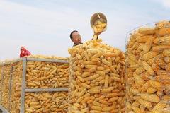 Thiên tai hoành hành, giá cả leo thang, Trung Quốc nguy cơ khủng hoảng lương thực?
