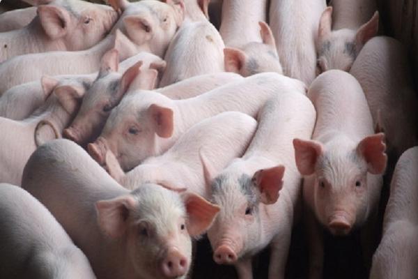 IPO công ty nuôi lợn tại Hải Dương, giá khởi điểm 13.800 đồng/cp